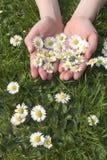 Sommer-Gänseblümchen 2 Stockfotografie