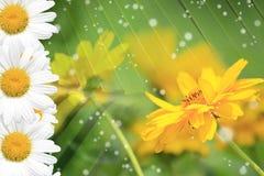 Sommer, Gänseblümchen, gelber Blumen-Hintergrund Lizenzfreies Stockfoto