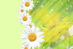 Sommer, Gänseblümchen, gelber Blumen-Hintergrund Lizenzfreies Stockbild