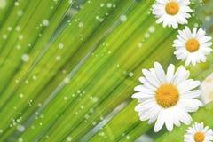 Sommer, Gänseblümchen, gelber Blumen-Hintergrund Stockfoto