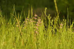 Sommer-Gräser Stockfotografie