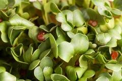 Sommer-grüne frische organische Kresse Lizenzfreie Stockfotos