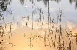 Sommer-Heißwasser-Wasserpflanzen stockfotos