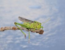 Sommer-Heuschrecke und hängende Beine - afrikanische Insekten Lizenzfreies Stockbild