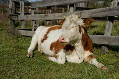 Sommer im Dorf Glückliche beschmutzte Kühe Lizenzfreies Stockfoto