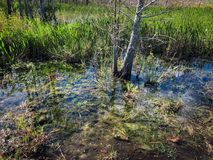 Sommer im Sumpf stockfotografie