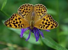 Sommer ist die Zeit von Schmetterlingen Ein schönes Insekt trinkt Nektar von einer Blume Lizenzfreie Stockbilder