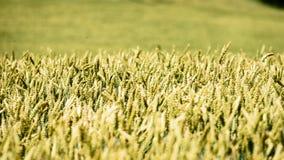 Sommer-Landschaft mit Weizen-Feld und Wolken Stockfotografie
