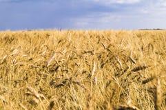 Sommer-Landschaft mit Weizen-Feld und Wolken Lizenzfreies Stockbild