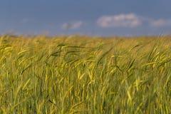 Sommer-Landschaft mit Weizenfeld am sonnigen Tag mit blauem Himmel und irgendwelchen weißen Wolken Stockbilder