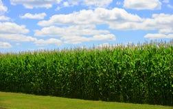 Sommer-Mais-Ernte Stockbilder