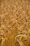 Sommer-Mais-Feld Lizenzfreies Stockbild