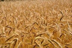 Sommer-Mais-Feld Lizenzfreie Stockbilder