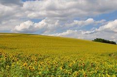 Sommer-Mais-Feld Lizenzfreies Stockfoto