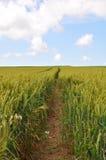 Sommer-Mais-Feld Lizenzfreie Stockfotografie