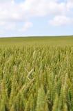Sommer-Mais-Feld Stockfoto