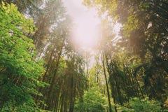 Sommer Misch-Forest Trees Woods To Canopy Ansicht von unten Weitwinkel Lizenzfreies Stockbild