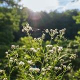 Sommer-Morgen Wildflowers Lizenzfreies Stockbild
