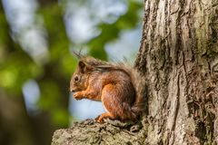 Sommer Pelztier, flaumiges Eichhörnchen in seinem natürlichen Lebensraum stockbild