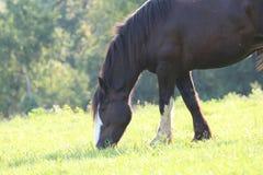 Sommer-Pferd, das in einer Wiese weiden lässt Stockfotos