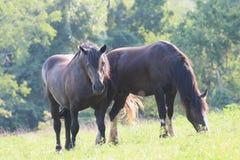 Sommer-Pferde, die in einer Wiese weiden lassen Stockbilder