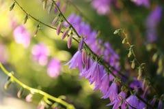 Sommer purpurroter Hosta blüht Makro lizenzfreie stockbilder