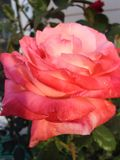 Sommer Rose Stockbild