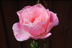 Sommer Rose Pink Lady Stockbilder