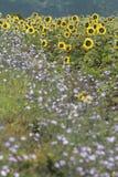 Sommer-Sonnenblume-Hintergrund Stockbild