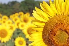 Sommer-Sonnenblume-Hintergrund Stockfotos