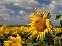 Sommer-Sonnenblumen Stockfoto