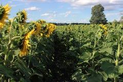 Sommer-Sonnenblumenfeld und blaue Himmel lizenzfreie stockfotografie