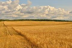Sommer-sonnige Landschaft mit Kornfeld in Russland Lizenzfreie Stockfotos