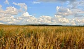 Sommer-sonnige Landschaft mit Kornfeld in Russland Stockbild