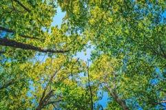 Sommer Sun, der durch Überdachung des hohe Baum-Holzes scheint Lizenzfreies Stockfoto