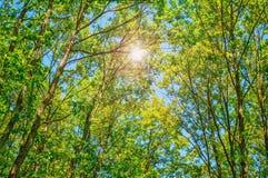Sommer Sun, der durch Überdachung des hohe Baum-Holzes scheint Lizenzfreie Stockbilder