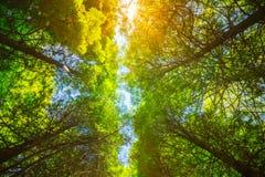 Sommer Sun, der durch Überdachung von hohen Bäumen scheint Lizenzfreies Stockbild