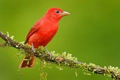 Sommer Tanager, Piranga rubra, roter Vogel im Naturlebensraum Tanager, der auf dem grünen Baum sitzt Birdwatching in Costa Rica w stockfotos