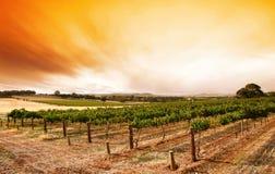 Sommer-Weinberg-Sonnenaufgang stockbild