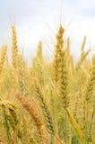 Sommer-Weizen stockfoto