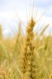 Sommer-Weizen stockbild