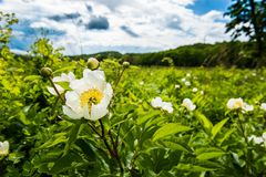 Sommer Wildflowers - fleld Blumen Lizenzfreies Stockbild
