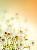 Sommer Wildflowers: Kamille Lizenzfreies Stockfoto