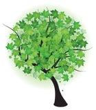 Sommerahornholz-Grünbaum Stockfotos