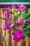 Sommerbalkon, der purpurrote Petunienblumen h?ngt lizenzfreie stockbilder
