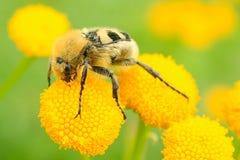 Sommerbild des gelben Insekts auf Blume Lizenzfreie Stockfotografie