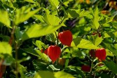 Sommerblüte im Garten Im Stadtpark blüht natürliches Lizenzfreies Stockbild