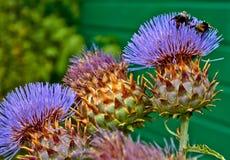 Sommerblumen mit Bienen in Arnhem Die Niederlande Juli stockbilder