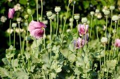 Sommerblumen, Mohnblumen Lizenzfreies Stockfoto
