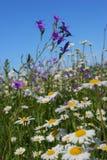 Sommerblumenfeld lizenzfreie stockbilder